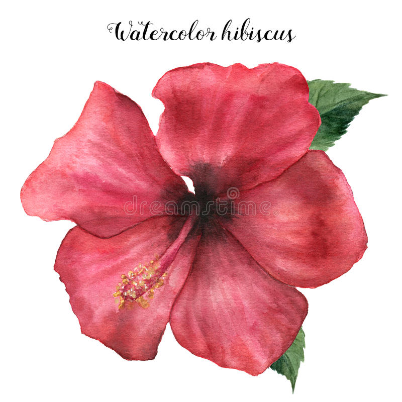 Hibisco del rojo de la acuarela Ejemplo floral exótico pintado a mano con las hojas en el fondo blanco Flor tropical ilustración del vector