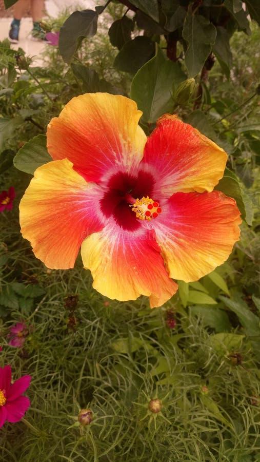Hibisco multicolor imagen de archivo libre de regalías