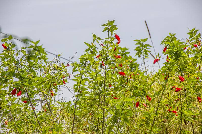 Hibisco rojo al aire libre foto de archivo libre de regalías