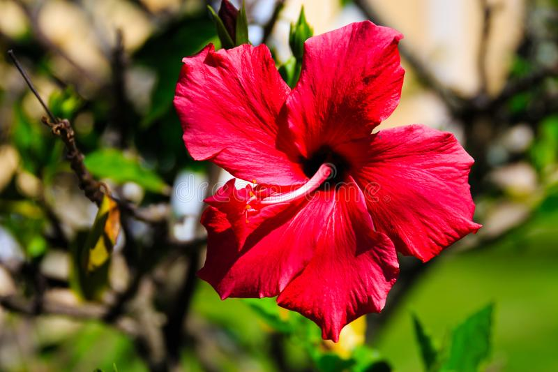 Hibisco rojo hermoso fotos de archivo libres de regalías