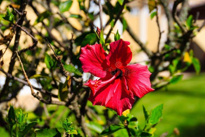 Hibisco rojo hermoso foto de archivo libre de regalías