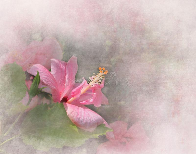 Hibisco rosado foto de archivo