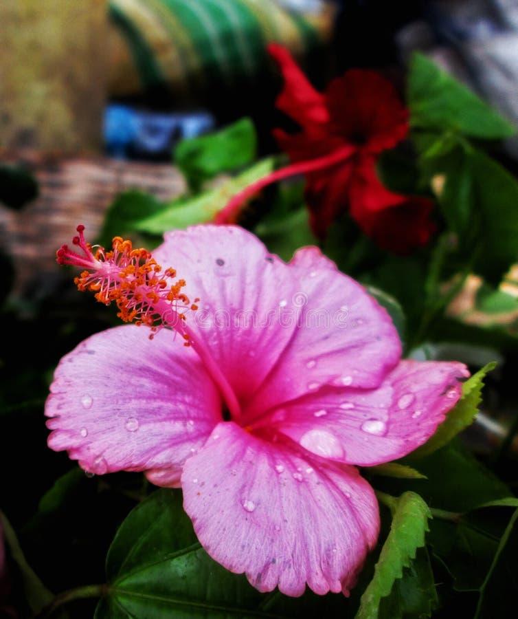 Hibisco rosado del color con el detalle imagen de archivo libre de regalías
