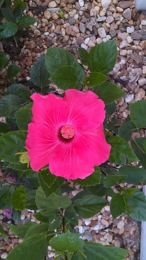 Hibisco rosado hermoso fotos de archivo