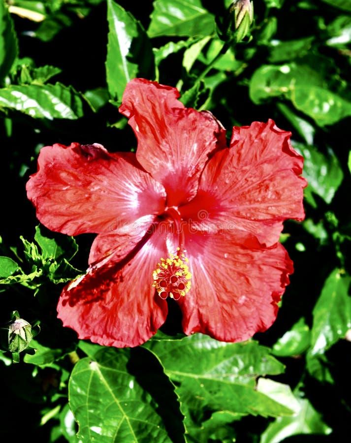 Hibisco tropical rojo #2 imagen de archivo libre de regalías