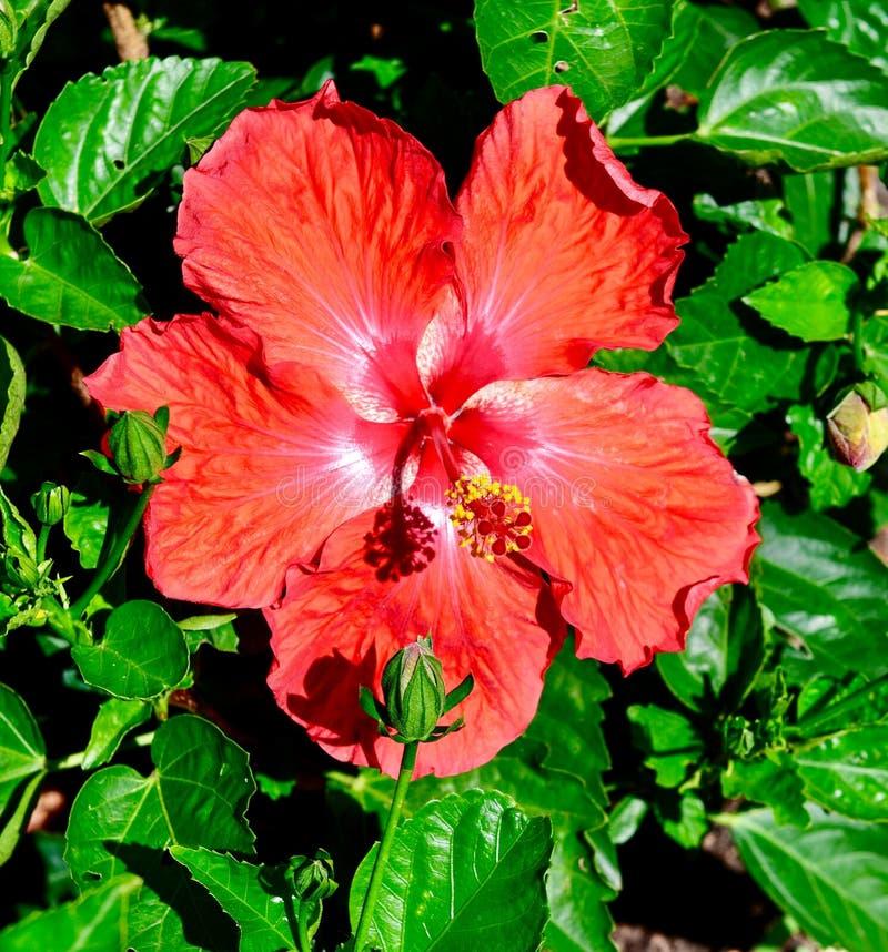 Hibisco tropical rojo #3 imágenes de archivo libres de regalías