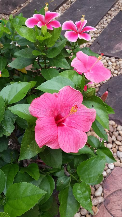 hibiscus αρκετά στοκ φωτογραφία