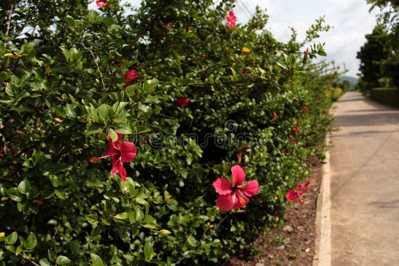 Hibiscus θάμνος στοκ εικόνα