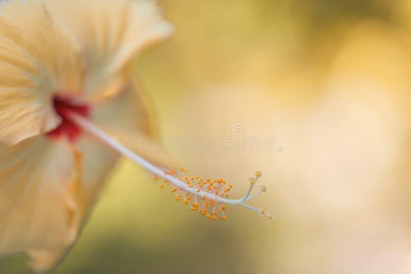 Hibiscus θολωμένο κινηματογράφηση σε πρώτο πλάνο υπόβαθρο λουλουδιών Όμορφο τροπικό υπόβαθρο λουλουδιών στοκ εικόνα με δικαίωμα ελεύθερης χρήσης
