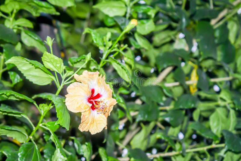 Hibiscus κινέζικα αυξήθηκαν στοκ φωτογραφία με δικαίωμα ελεύθερης χρήσης