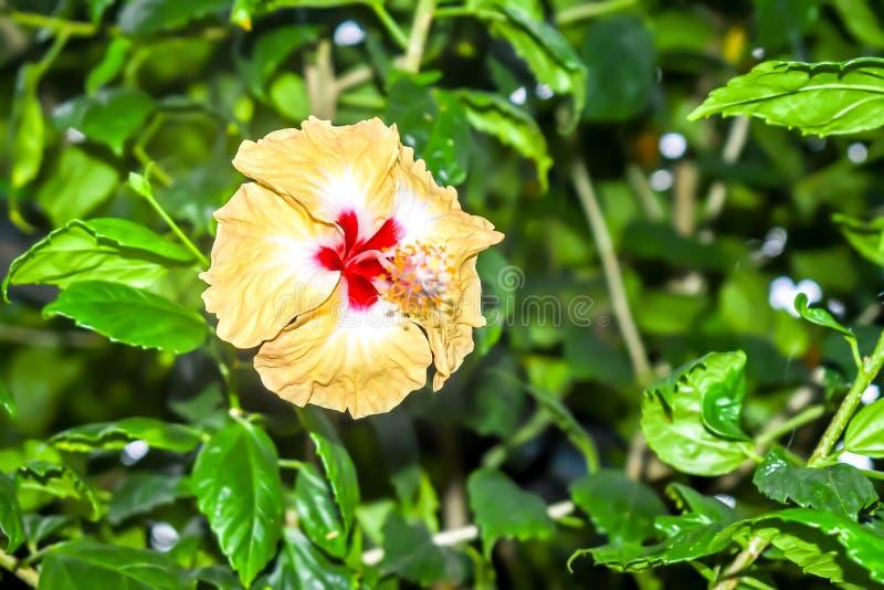 Hibiscus κινέζικα αυξήθηκαν στοκ φωτογραφίες