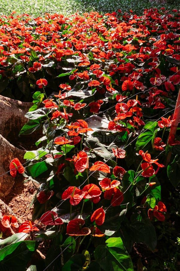 Hibiscus κόκκινου χρώματος εγκαταστάσεις λουλουδιών στοκ εικόνα με δικαίωμα ελεύθερης χρήσης