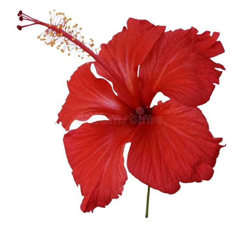 hibiscus λουλουδιών απομόνωσαν το κόκκινο στοκ φωτογραφία με δικαίωμα ελεύθερης χρήσης