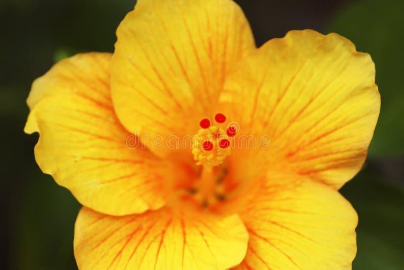 hibiscus λουλουδιών κίτρινα στοκ φωτογραφίες με δικαίωμα ελεύθερης χρήσης
