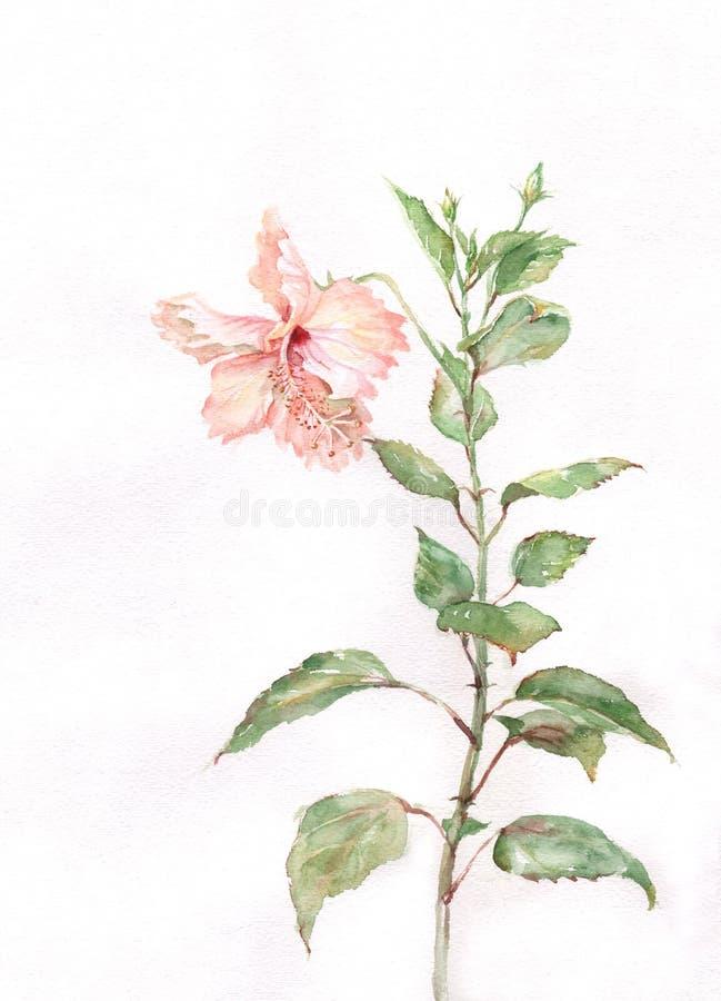 hibiscus λουλουδιών που χρωματίζουν το ρόδινο watercolor διανυσματική απεικόνιση