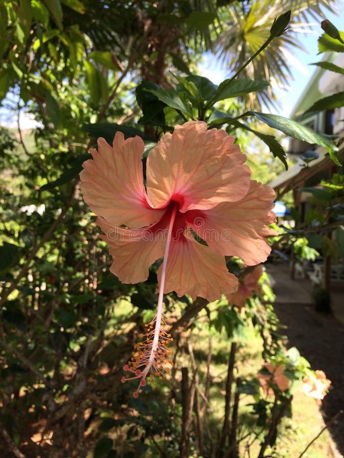Hibiscus Παρθένων Νήσων στοκ φωτογραφίες