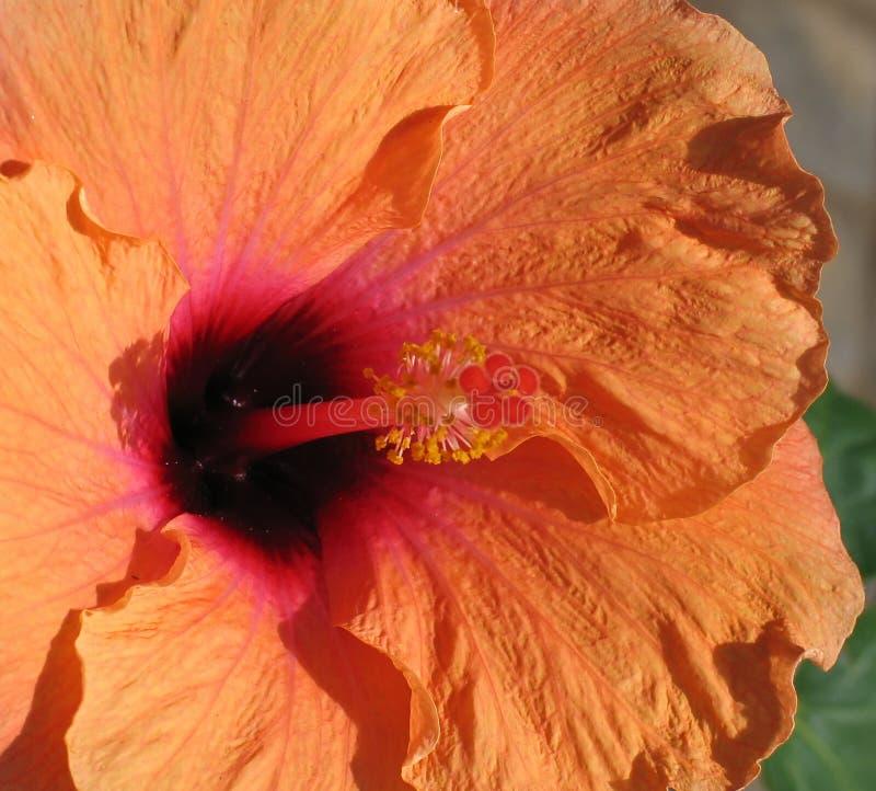 Hibiscus πορτοκάλι Στοκ Εικόνα