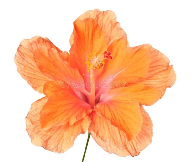 hibiscus που απομονώνονται στοκ εικόνες με δικαίωμα ελεύθερης χρήσης