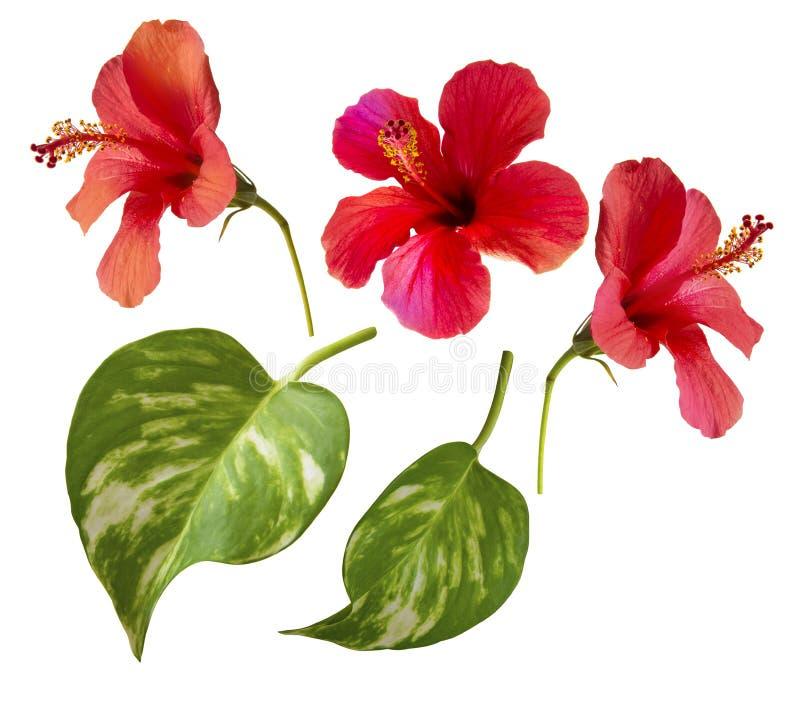 hibiscus Στοιχεία που απομονώνονται ενιαία στο λευκό στοκ φωτογραφία με δικαίωμα ελεύθερης χρήσης