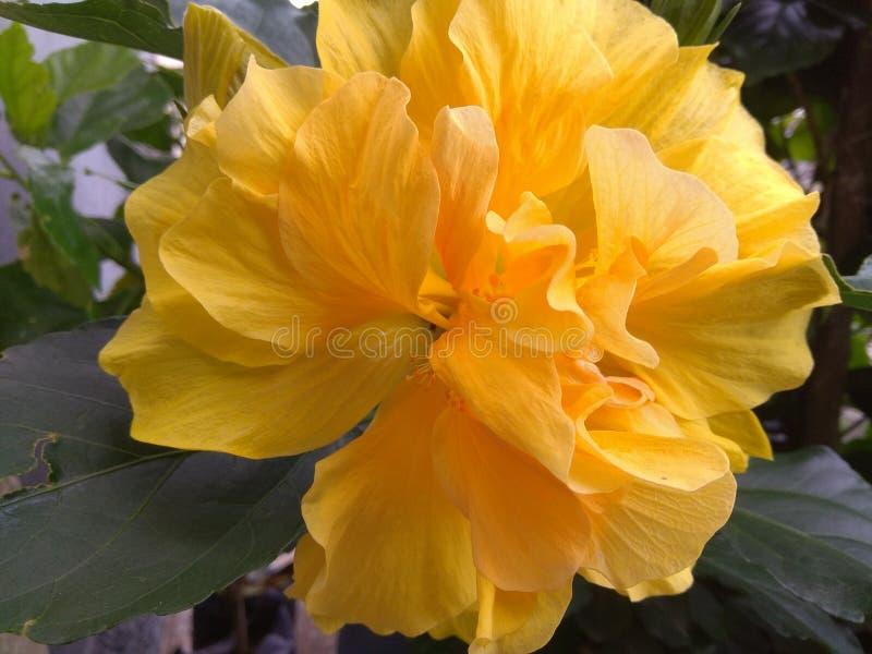Hibiscus το κίτρινο λουλούδι και βγάζει φύλλα στοκ εικόνα