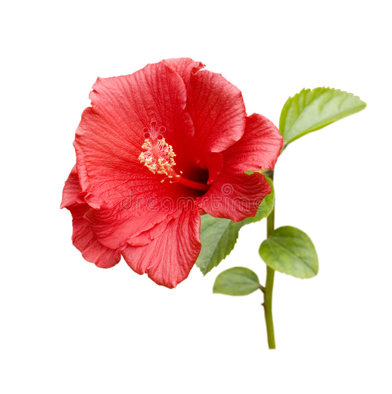 hibiscus τροπικά στοκ φωτογραφίες