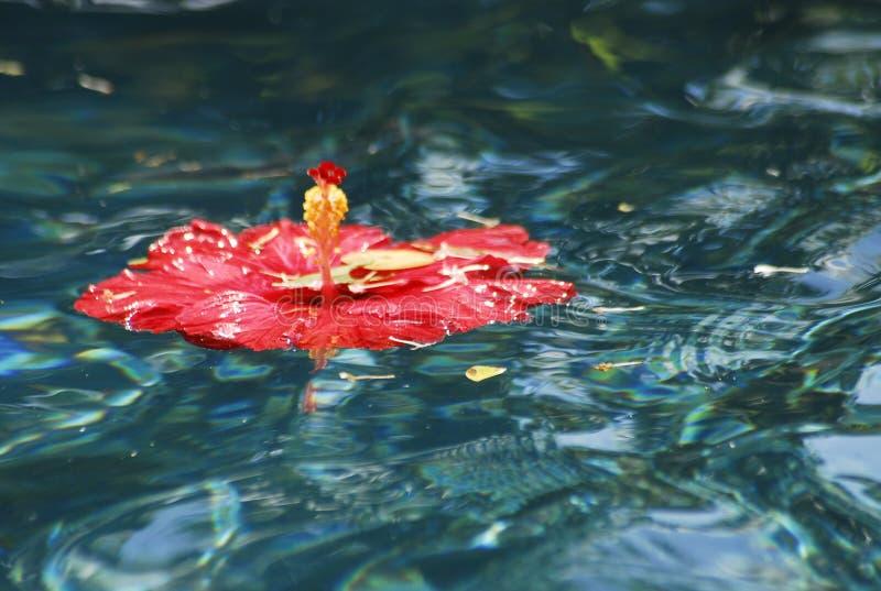 hibiscus складывают красный цвет вместе стоковое фото rf