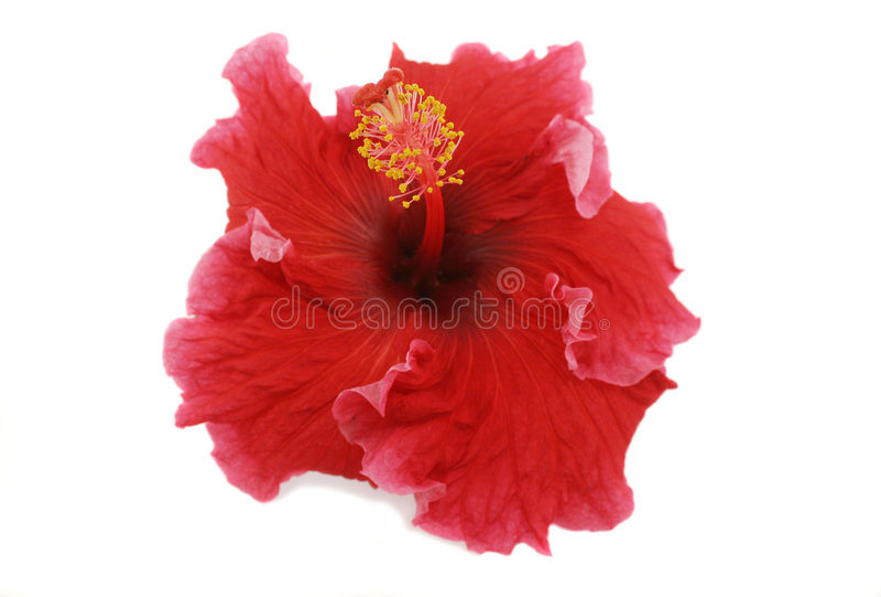 Hibiscus 1 fotografia de stock royalty free