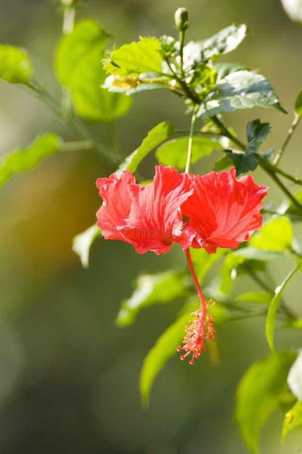Download Hibiscus stock image. Image of hibiscus, malaysia, plants - 10681007