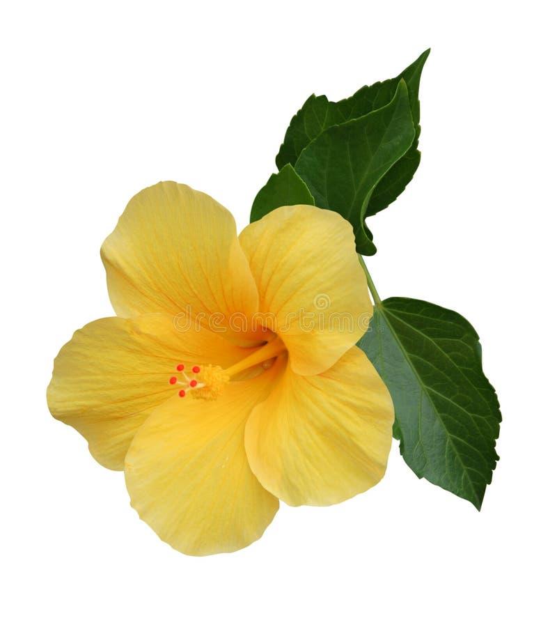 Download Hibiscus stock image. Image of aloha, life, decoration - 14860993