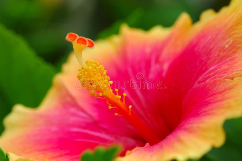 Hibiscus stock afbeeldingen