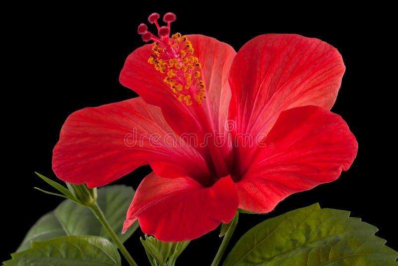 Hibiscus royalty-vrije stock fotografie
