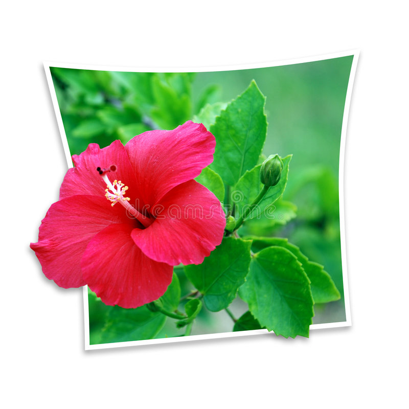 Free Hibiscus Royalty Free Stock Photo - 3069875