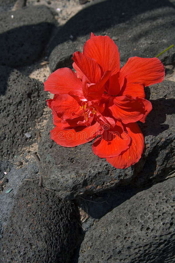 Hibiscus. A red hibiscus laying on lava rocks royalty free stock image