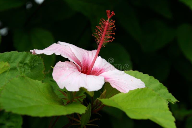 Download Hibiscus stock photo. Image of stamen, natural, hibiscus - 3883820