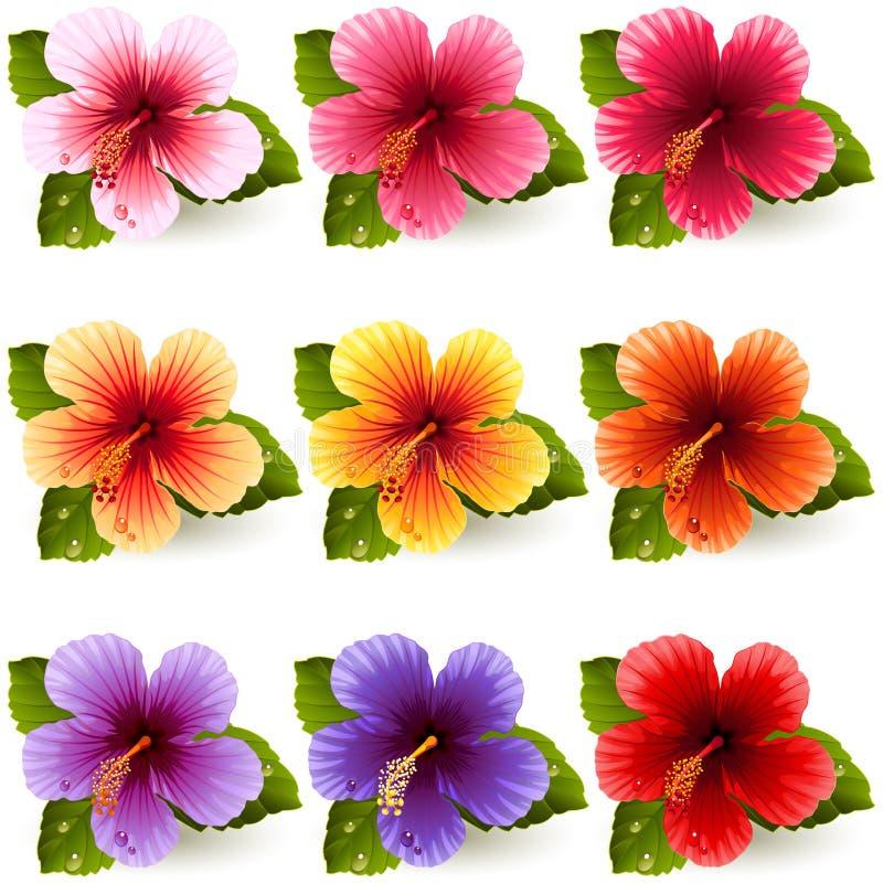hibiscus ilustração royalty free
