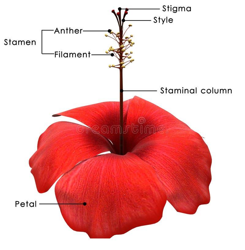 hibiscus ilustração do vetor