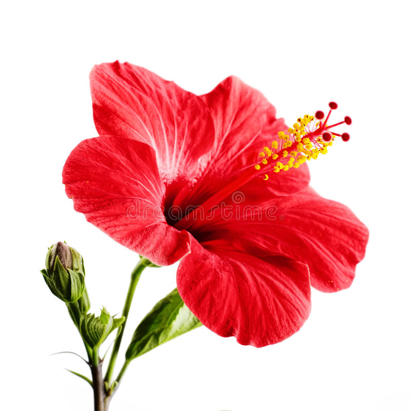 Free Hibiscus Royalty Free Stock Photography - 47822357