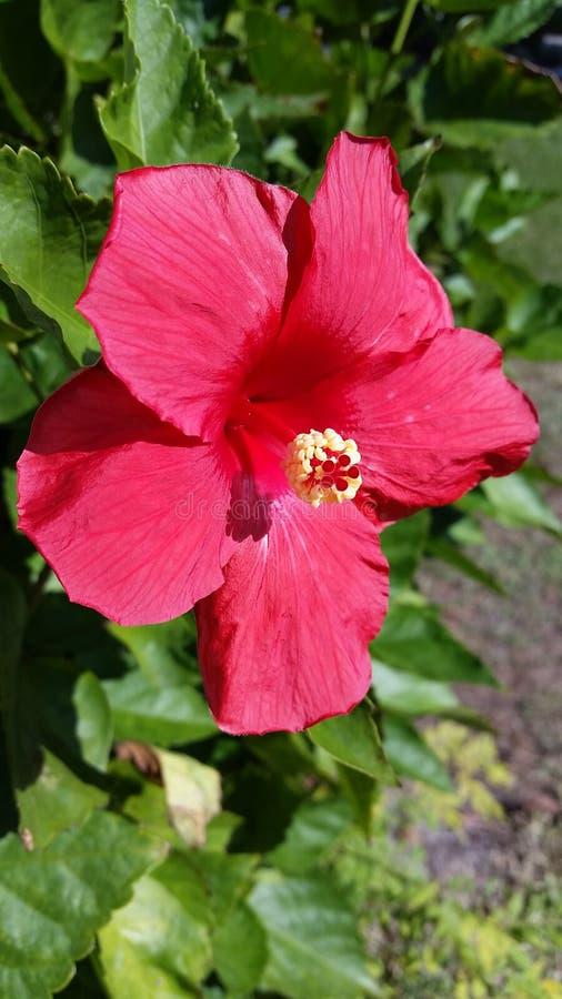 hibiscus fotografia de stock