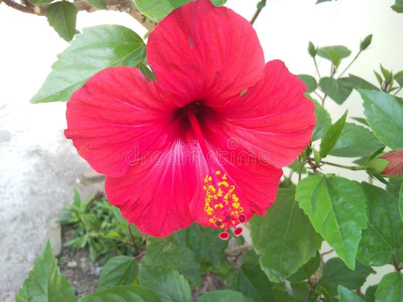 hibiscus стоковая фотография rf