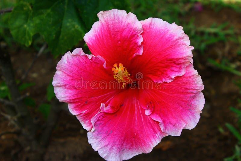 Hibiscus in Afrika stock fotografie