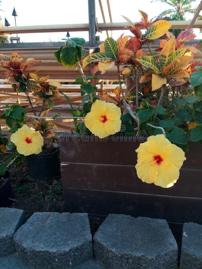 Hibiscus amarelo foto de stock royalty free