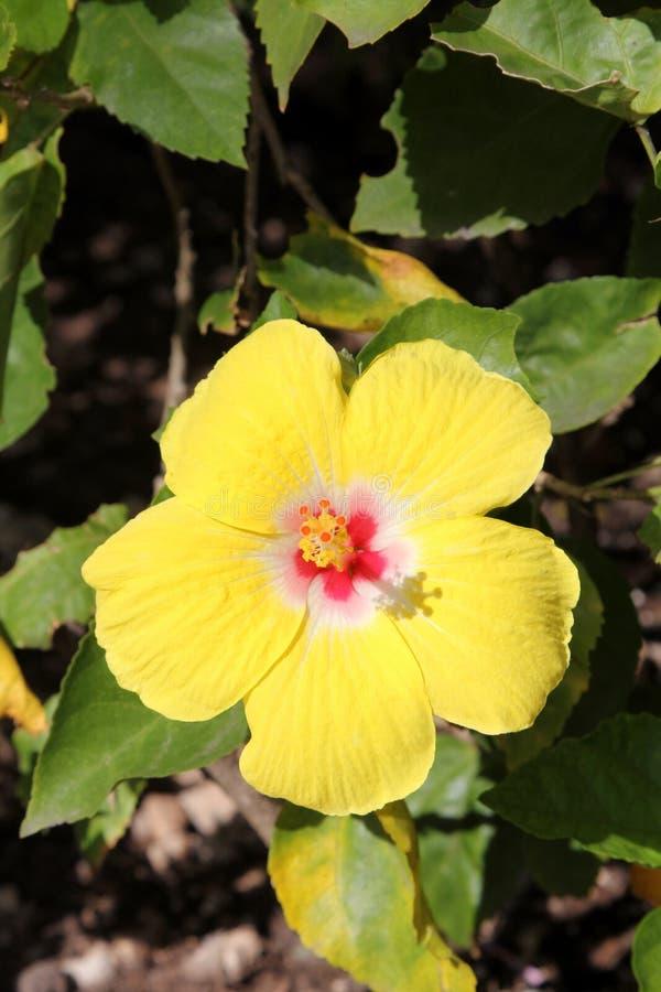 Hibiscus amarelo imagem de stock