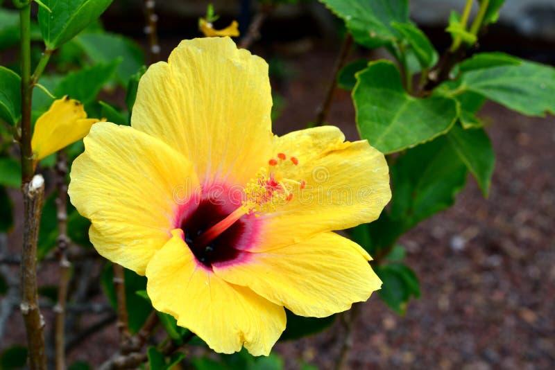 Hibiscus amarelo bonito em um fundo verde Close-up Ilhas Canárias fotografia de stock