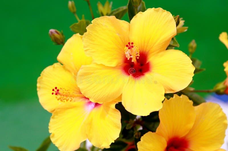 Hibiscus amarelo de florescência fotos de stock royalty free