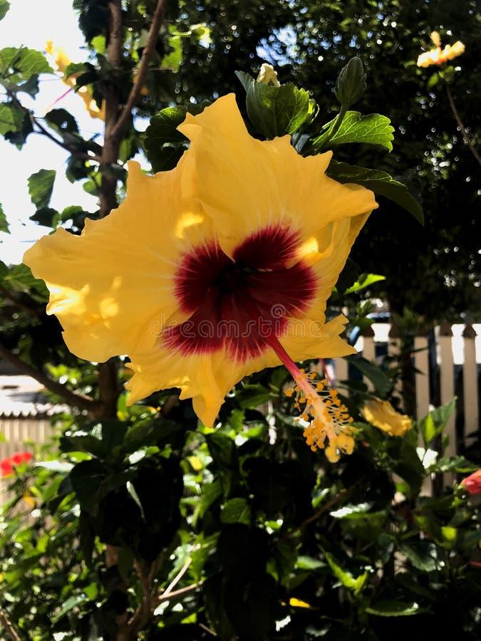 Hibiscus amarelo no jardim fotografia de stock royalty free