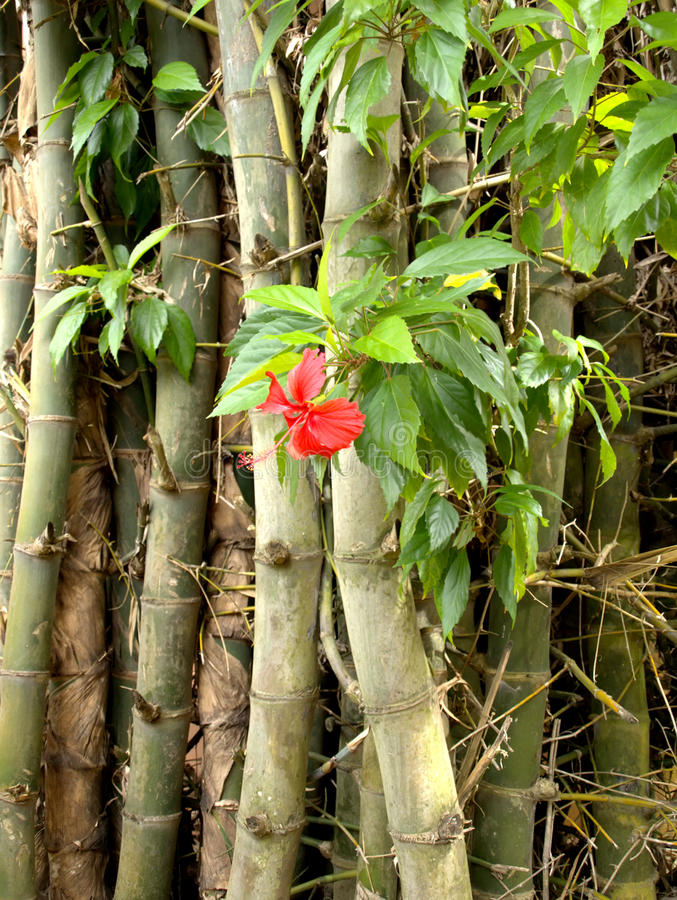 Free Hibiscus And Bamboo Royalty Free Stock Image - 22661346