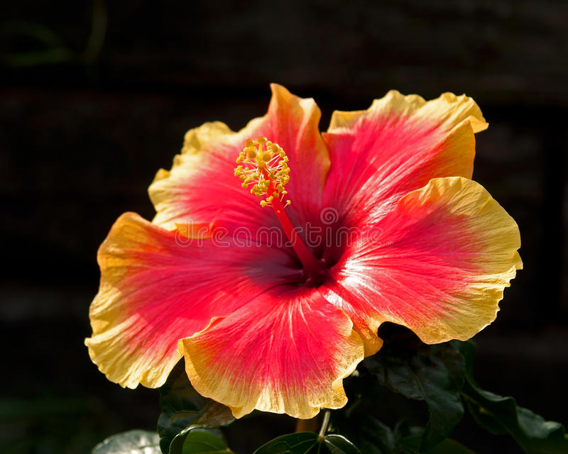Hibiscus Apollo 3. Hibiscus is a national flower of Malaysia stock photos