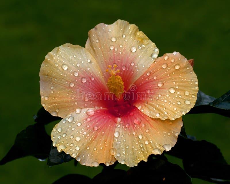 Hibiscus Apollo novo fotos de stock royalty free