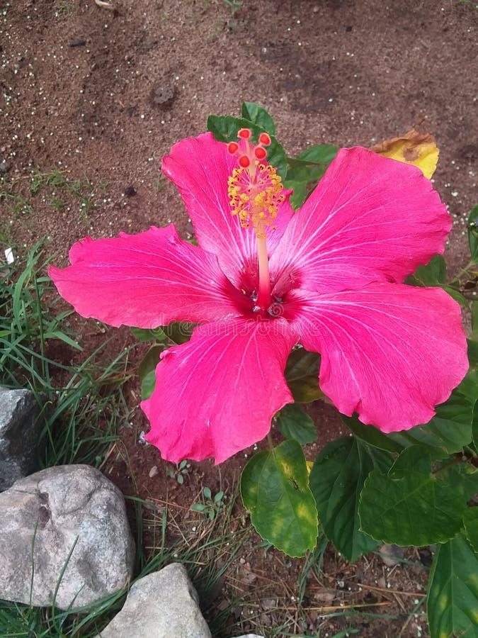 Hibiscus b royalty free stock photos