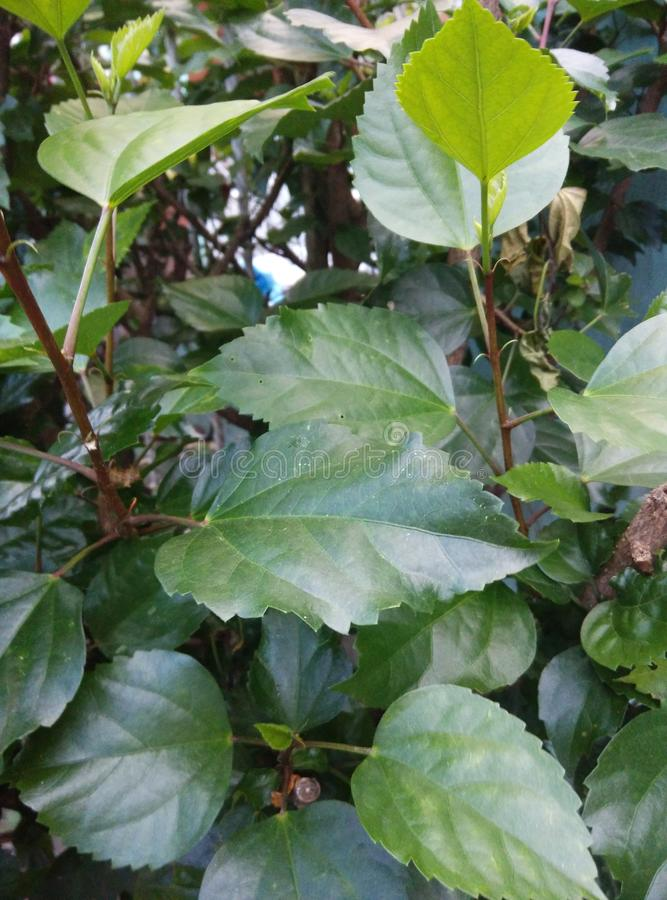 Hibiscus-Blätter lizenzfreie stockfotos